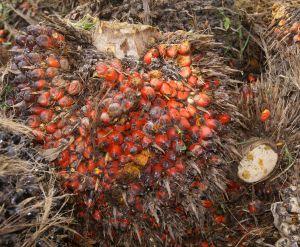 fruta-de-palma-de-aceite_2943860